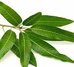 Mango tree leaves