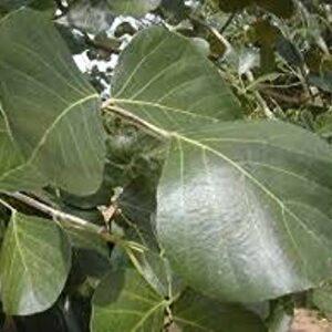 Palash leaves